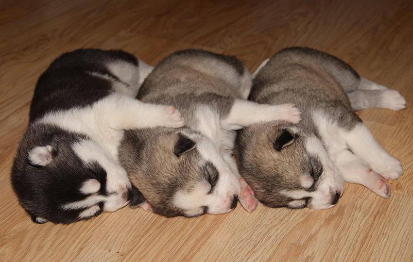 Как выбрать щенка маламута