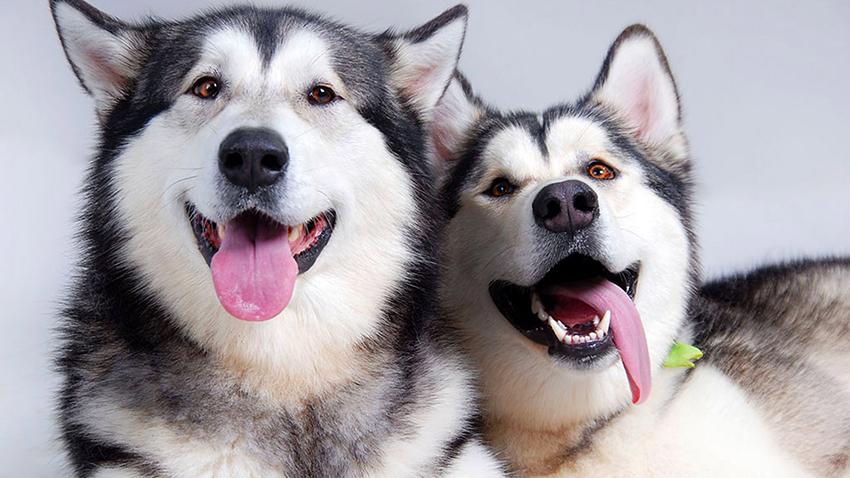 пара Аляскинских маламутов - вязка собак