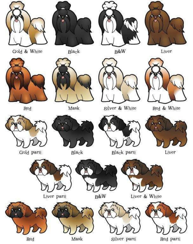 Окрасы собак шицу, ши-тцу