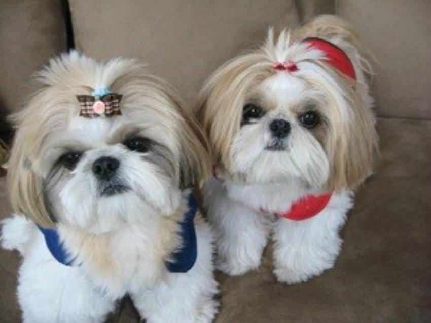 Пара, вязка собак шицу