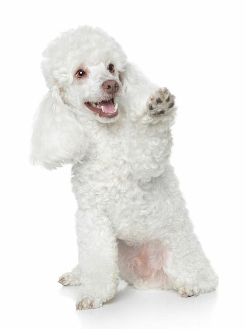 Всё о породе пудель - фото собаки пудель - описание породы, характер, содержание и уход