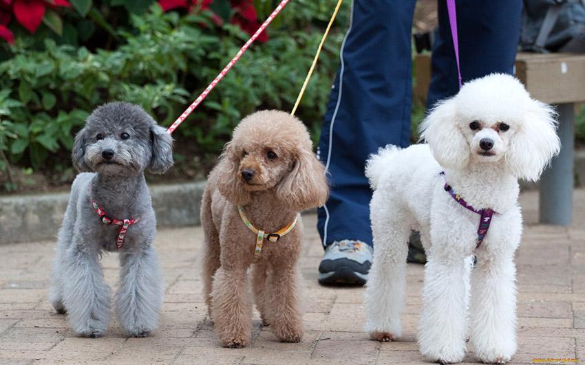 Порода пудель - окрасы собак