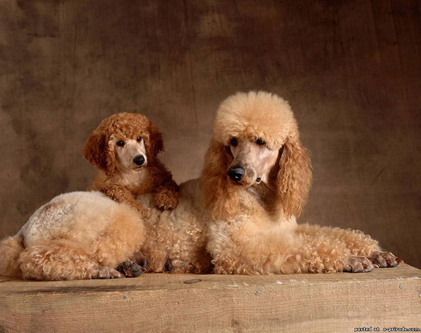 пудель щенок