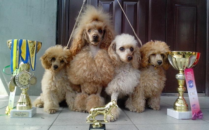 Как выбрать щенка пуделя - фото стандарта