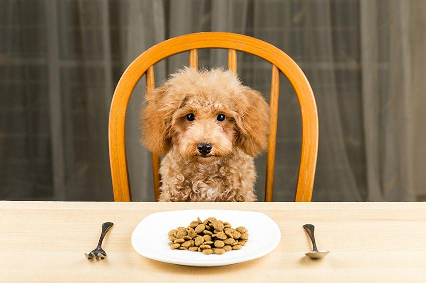 Чем можно кормить пуделей - питание собак