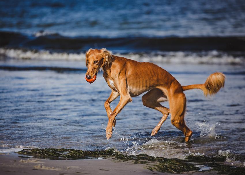 Дрессировка салюки и воспитание собак