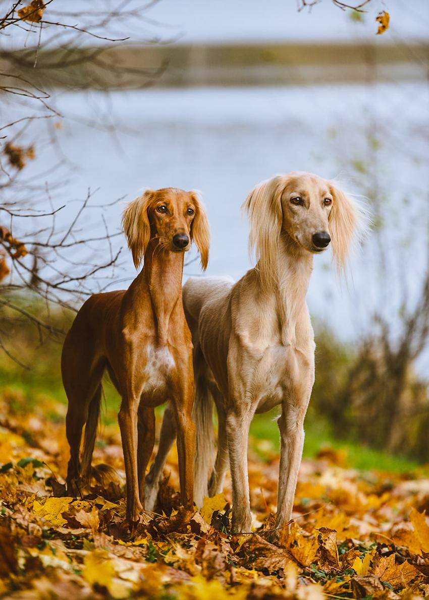 Прогулка с салюки - сколько надо гулять с собакой