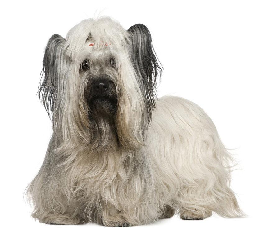 Всё о породе скайтерьер - фото собак скай-терьеров