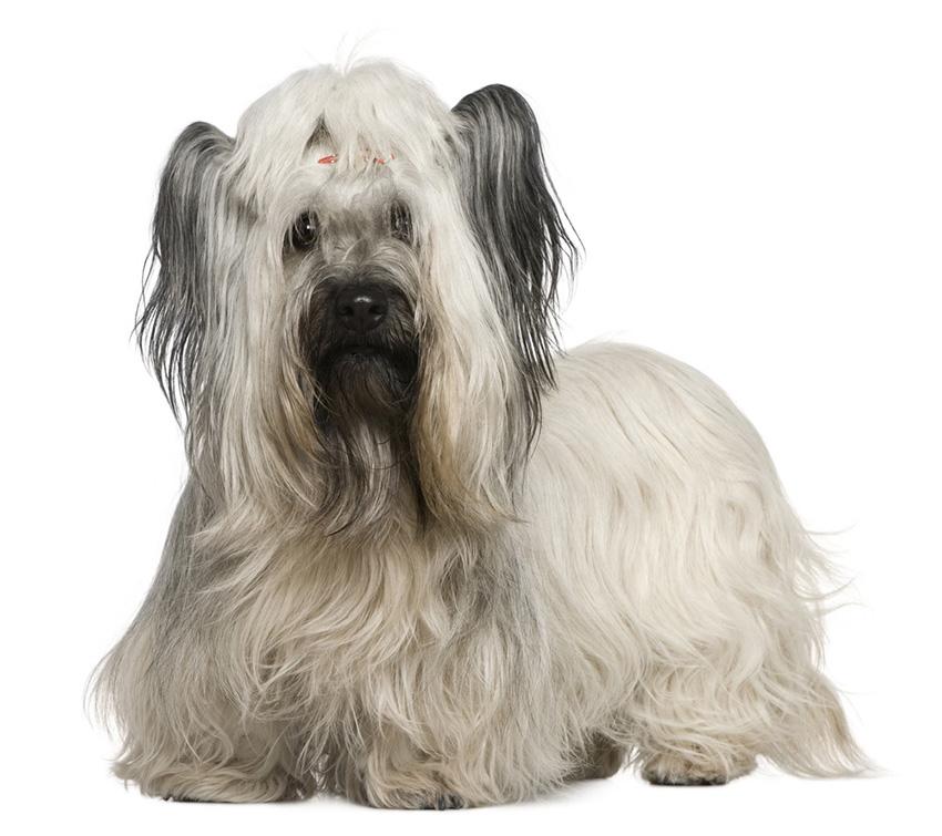 Всё о породе скайтерьер - фото собаки, описание породы скай-терьер, характер, содержание и уход