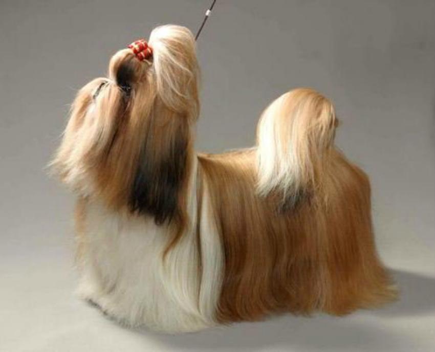 Стандарт собак породы ши-тцу