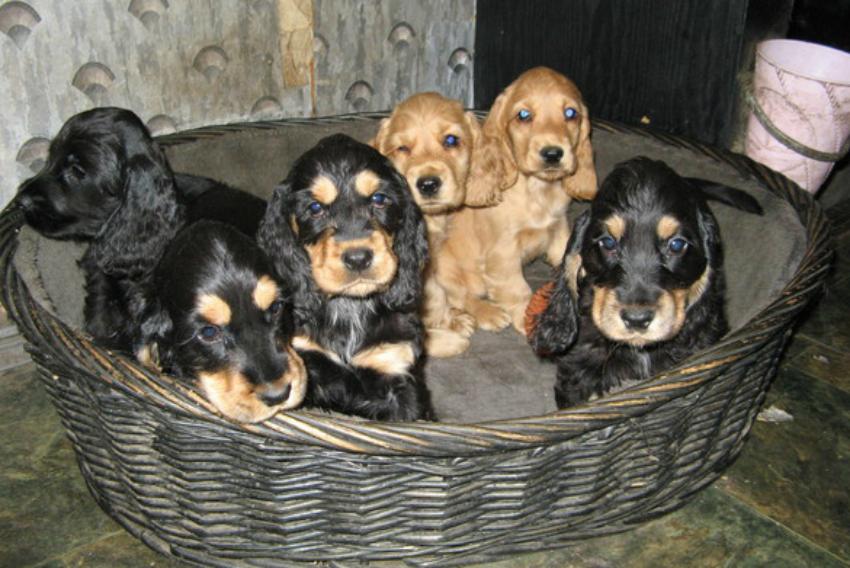 Как правильно выбрать собаку породы английский кокер-спаниель