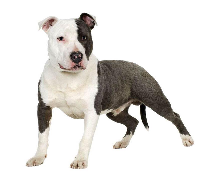 Всё о породе собак питбуль - фото Американского питбультерьера