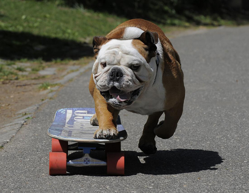 Сколько надо гулять с английским бульдогом - прогулки с собакой