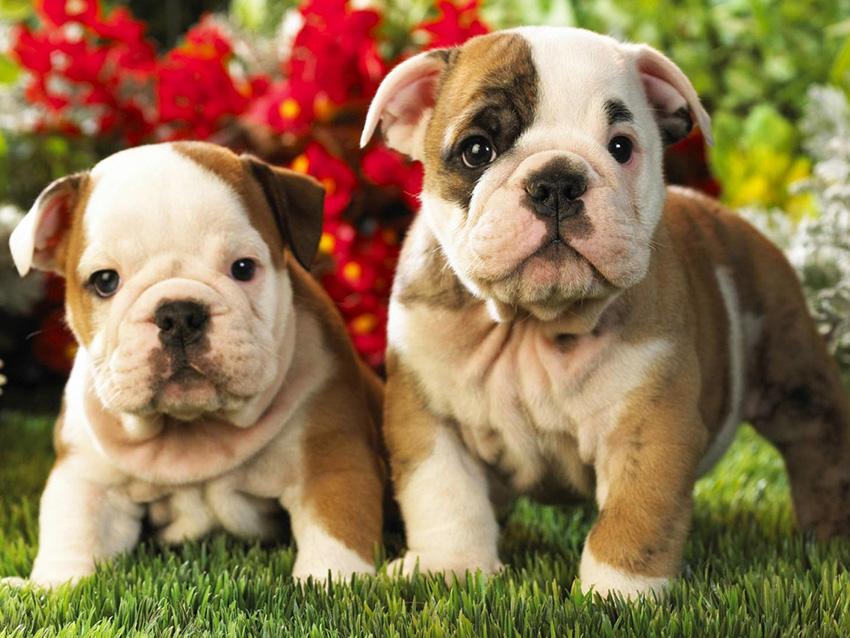 Пара английских бульдогов - вязка собак