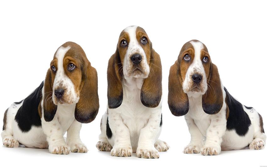 История породы собак бассет-хаунд