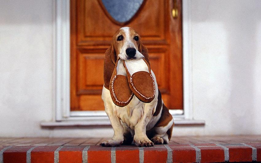 Дрессировка бассет-хаунда и воспитание собак