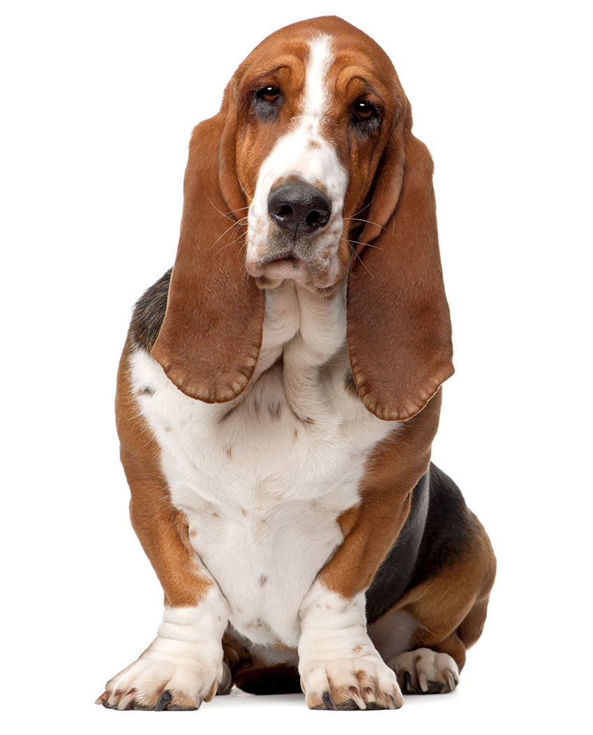 Всё о бассет-хаунде - фото собаки