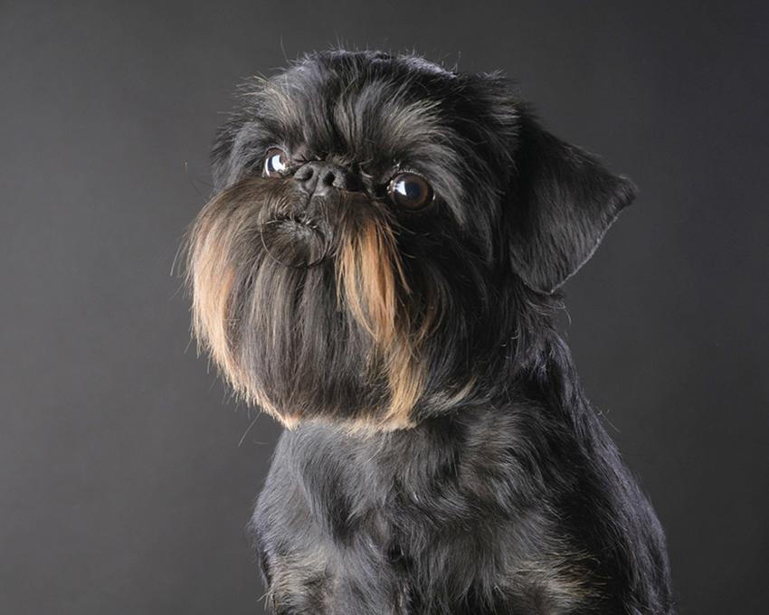 фото собаки Бельгийский гриффон