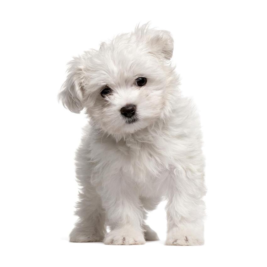 Всё о породе мальтийская болонка - фото собаки мальтезе - описание породы, характер, содержание и уход