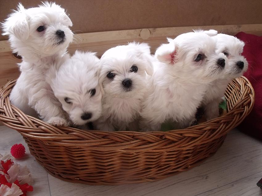 Щенки мальтийской болонки - как выбрать собаку мальтезе