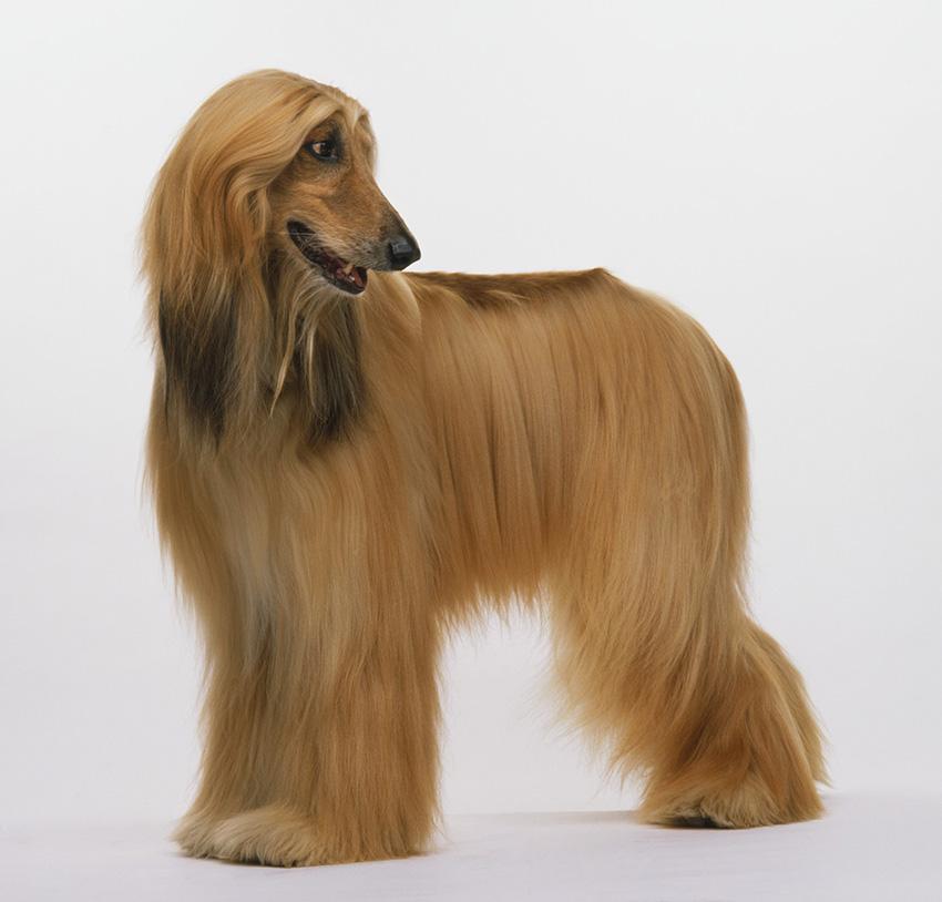 Всё о породе афганская борзая - фото собаки, описание породы афганская борзая, характер, содержание и уход