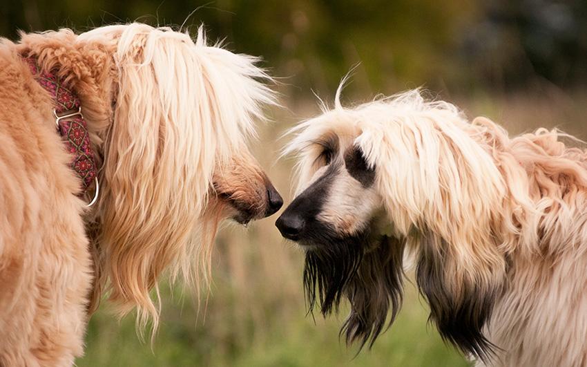 Пара собак породы афганских борзых