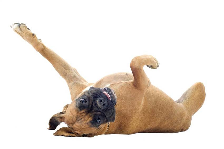 Всё о породе боксер - фото собак