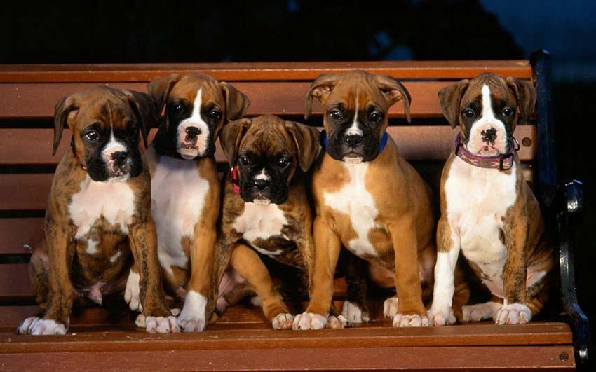 Как правильно выбрать щенка немецкого боксера
