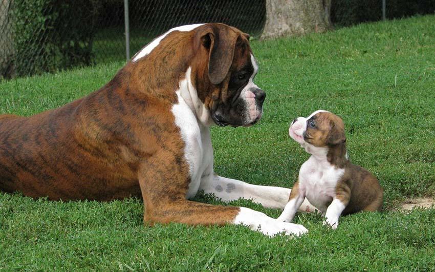 Немецкий боксер с щенком
