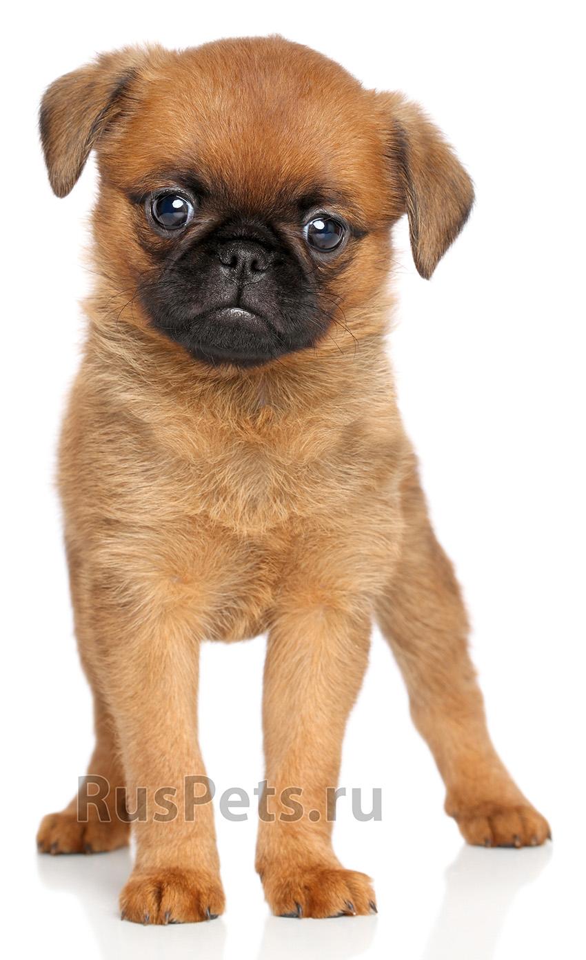 фото собаки гриффон Пти-брабансон