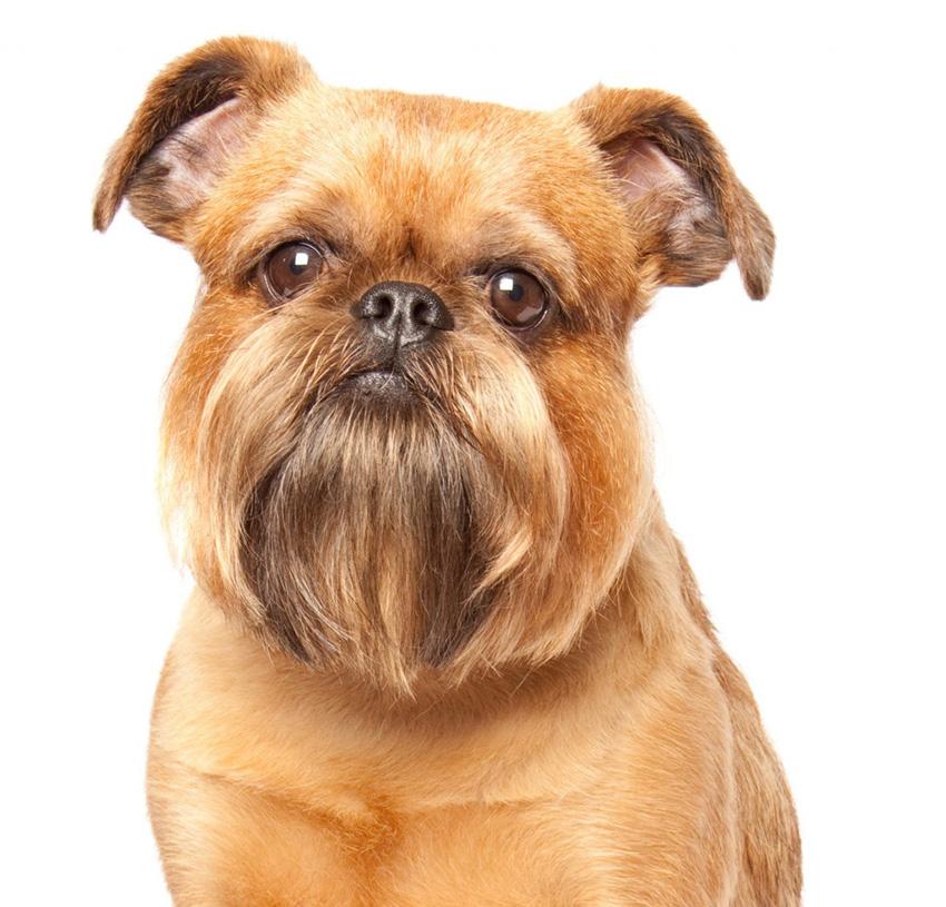 фото собаки Брюссельский гриффон