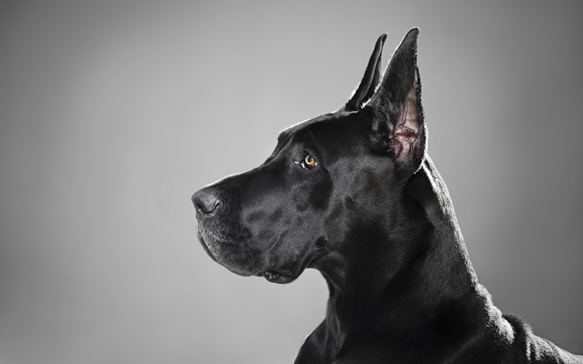 История собак породы немецкий дог