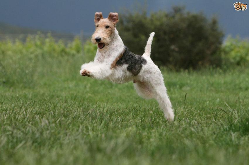История собак породы жесткошерстный фокстерьер