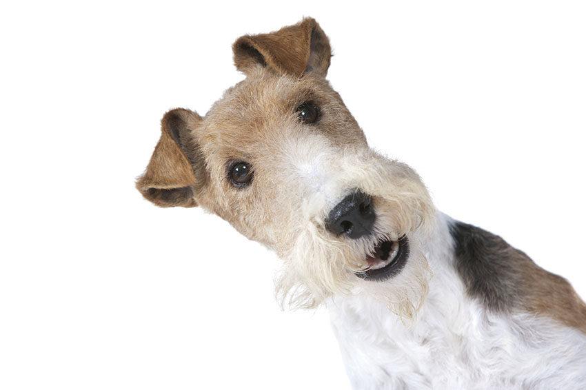 Всё о жесткошерстном фокстерьере - фото собаки