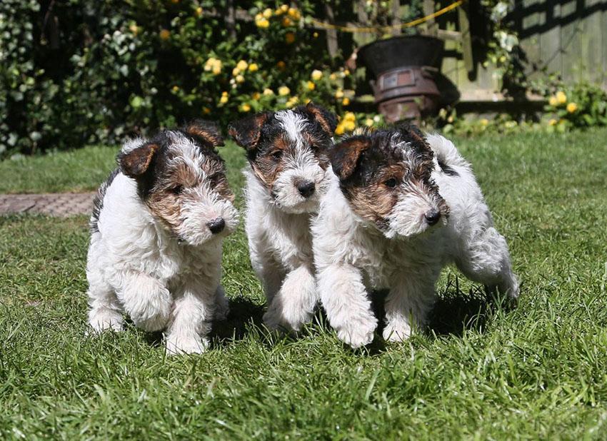 как правильно выбрать щенка жесткошерстного фокстерьера