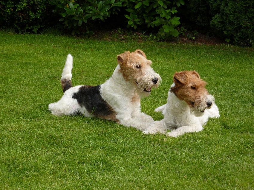 Пара жесткошерстных фокстерьеров - вязка собак