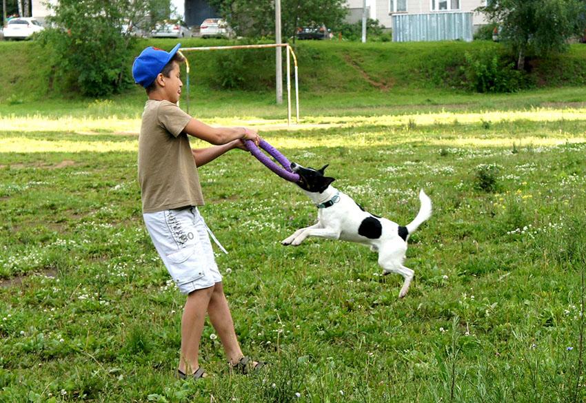 Дрессировка гладкошерстного фокстерьера и воспитание собак