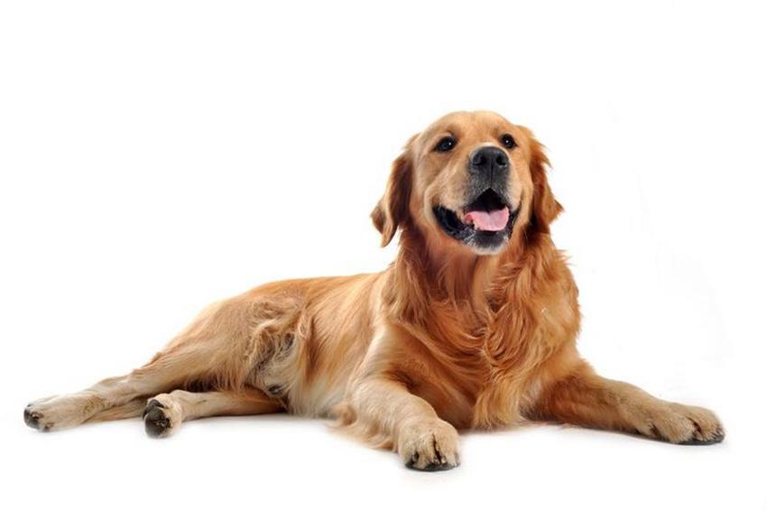Всё о породе Золотистый ретривер - фото собаки, описание породы Голден ретривер, характер, содержание и уход