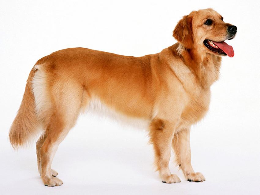 история собак породы золотистый ретривер - голден
