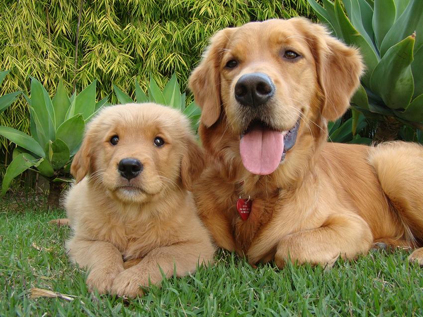 Беременность голден ретриверов и роды собак породы золотистых ретриверов