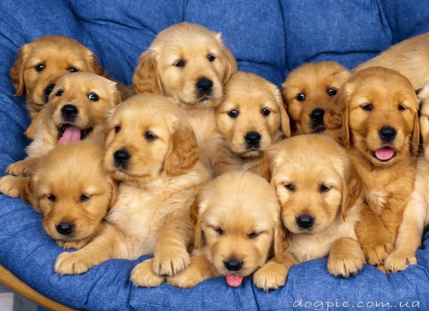 как выбрать щенка золотистого ретривера - голден