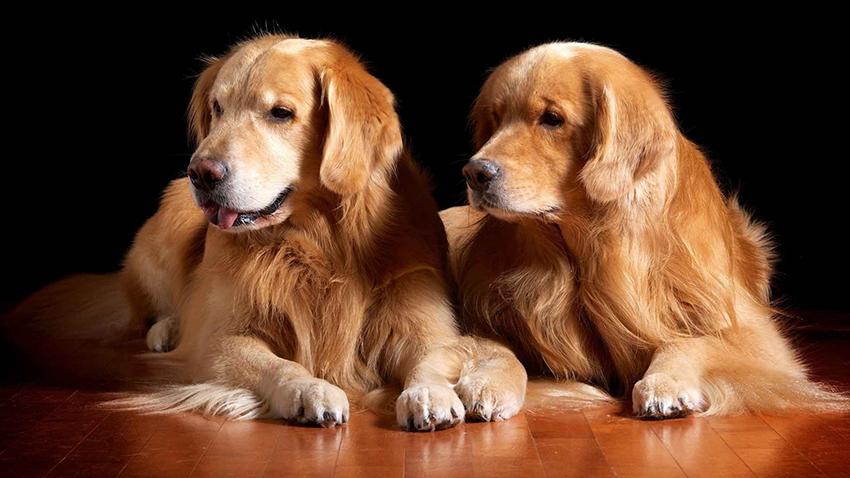 два золотистых ретривера - вязка собак