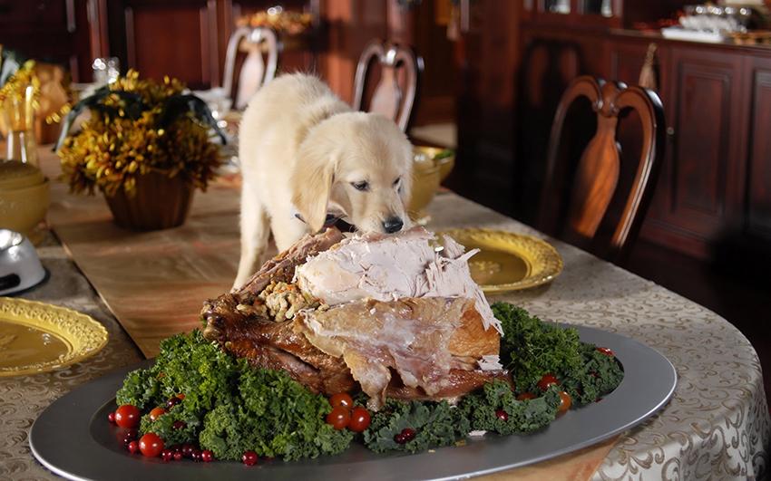 питание голден ретривера - чем кормить собак породы золотистый ретривер