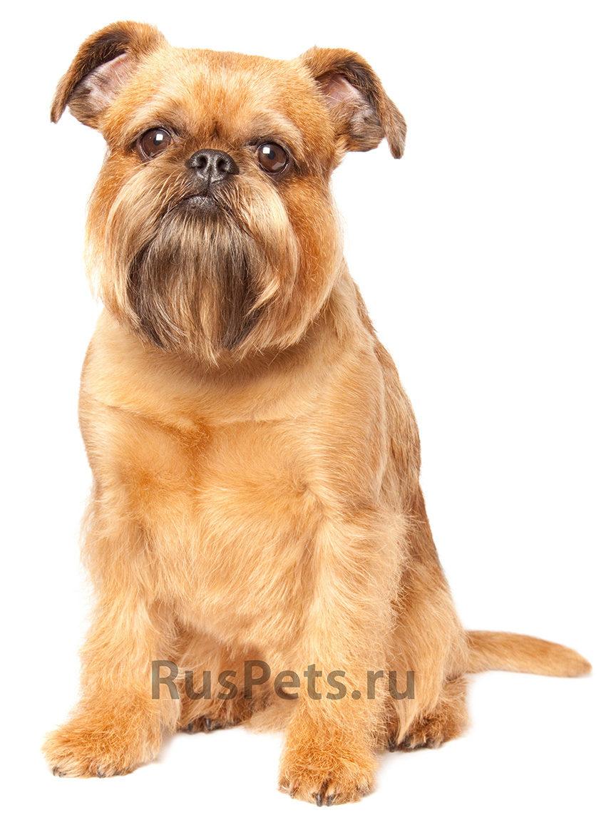 Фото собаки породы гриффон