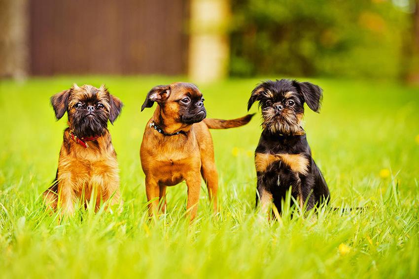 Прогулка с гриффоном - сколько надо гулять с собачкой