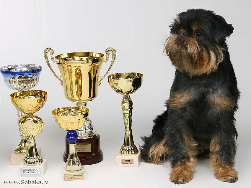 Собака гриффон - стандарт породы