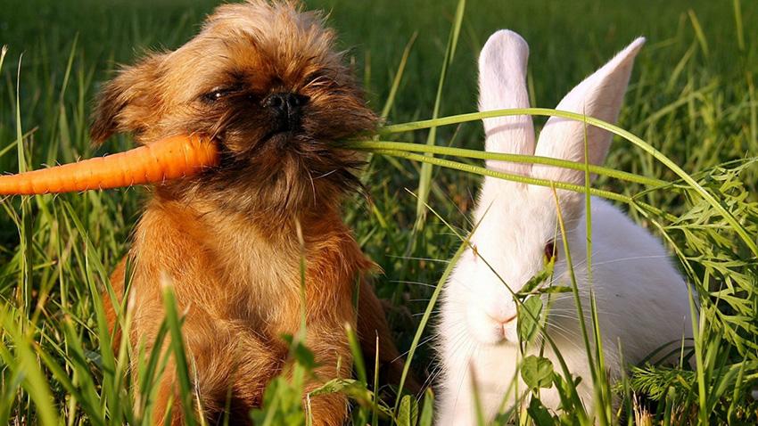 Питание гриффона - чем можно кормить собачек