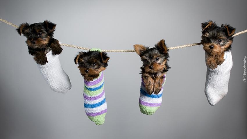 Как выбрать йоркширского терьера - на фото щенки йорка