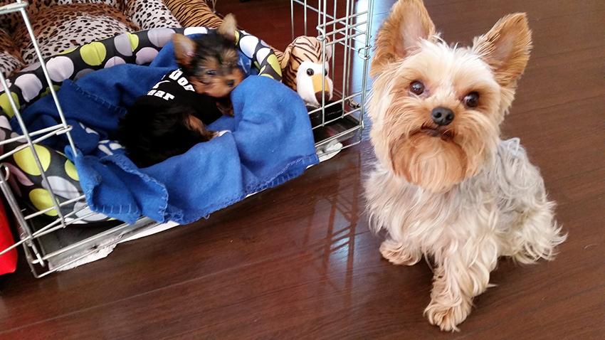 Мама йорк с щенками