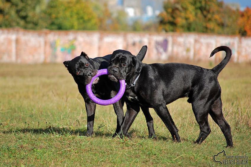 дрессировка кане-корсо и воспитание собак